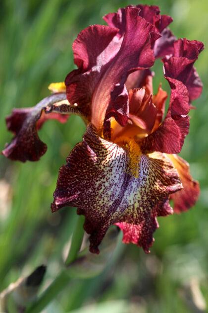 IMG_0443CF_Iris 'La Neige'_Presby Memorial Iris Garden, Montclair, New Jersey