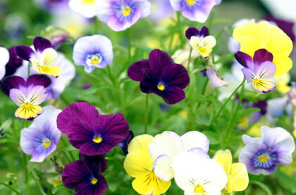 Pansies 'A Mid-Summer's Day Dream'-The New York Botanical Garden