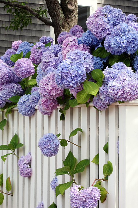 Liberated Hydrangea-Nantucket, Massachusetts