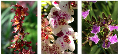 Orchid Triptych I