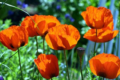 Web-193_9372__Poppy 'Prince of Orange' II_The New York Botanical Garden