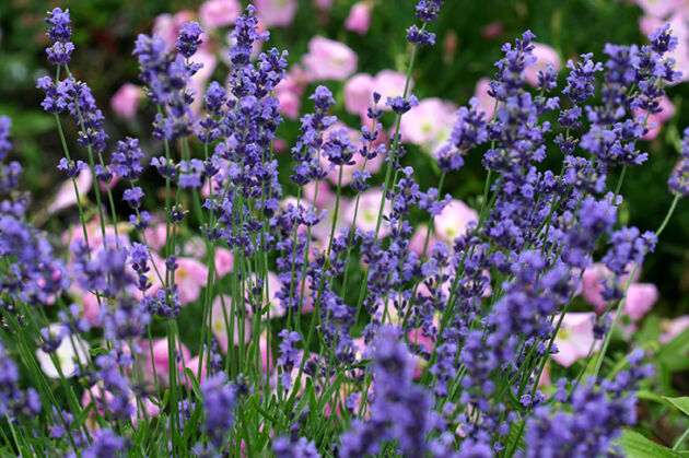 Lavender & Wild Rose-Carl Schurz Park, New York City