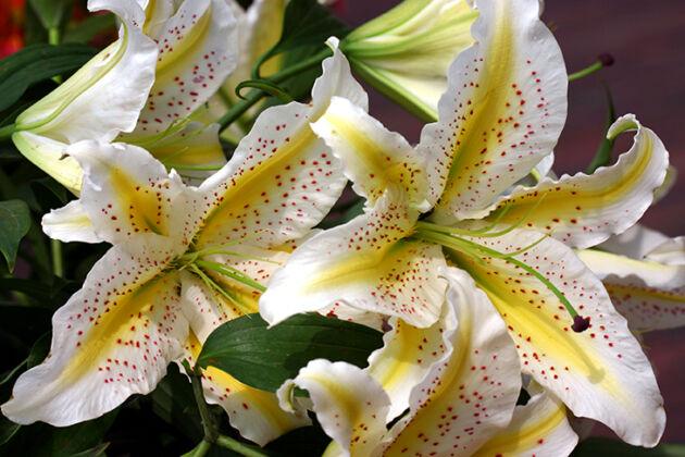 210_1040*C-Golden Rayed Lily-Nantucket, Massachusetts