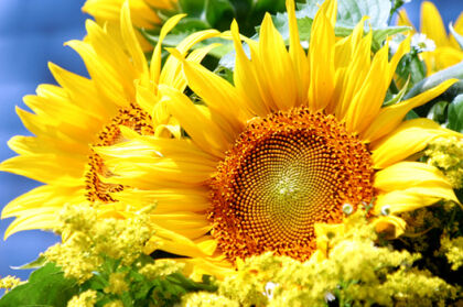 Web-Brilliant Sunflower_Nantucket, Massachusetts