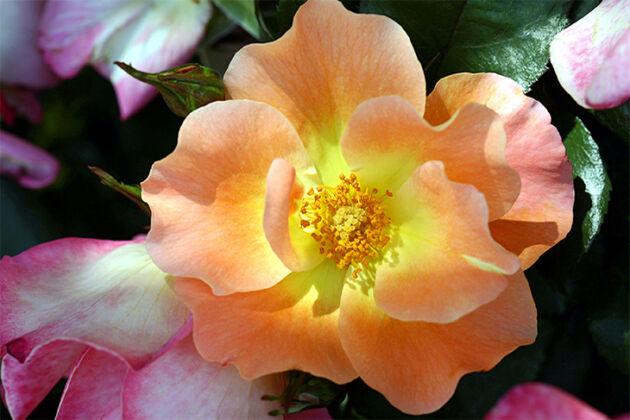 Playboy Rose_Santa Fe, New Mexico