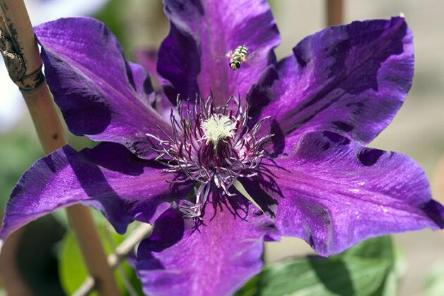 Clematis 'Violet Star' Hortus Botanicus, Amsterdam, Netherlands