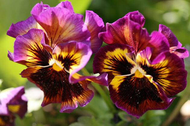 IMG_2247C-Pansy Potpourri-Chicago Botanic Garden