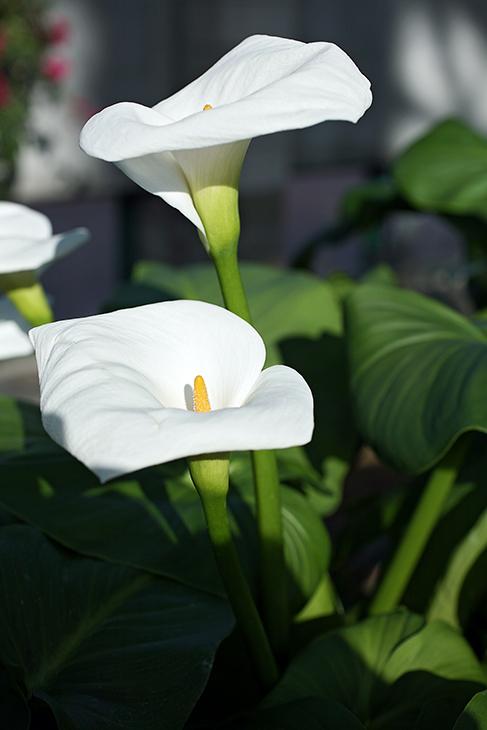 Web-IMG_2869-2014-Mythic Callalily-Albuquerque Botanical Garden