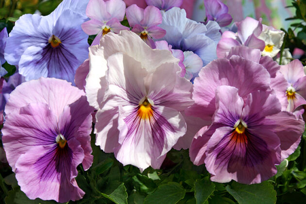 Male Pansies Great Again!