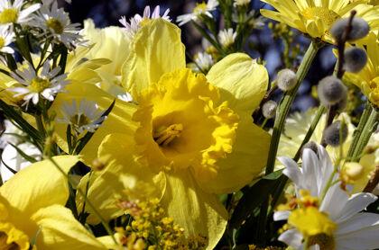 Daffodil Bouquet_Nantucket, Massachusetts