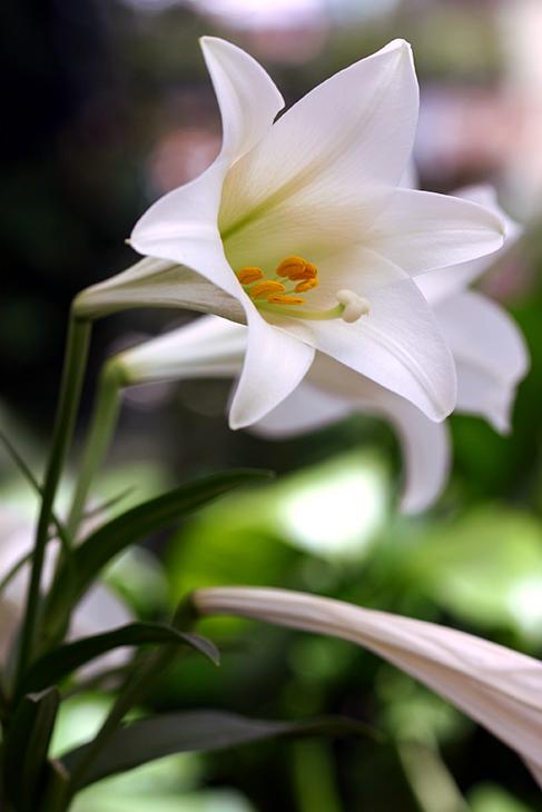Web-IMG_5436-'Cool Grace' Lily_Nantucket, Massachusetts