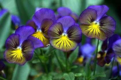 Viola 'Karma Blue Butterfly'