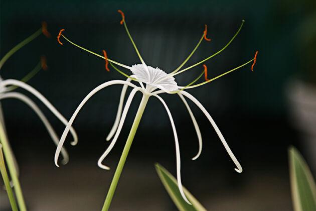 Spider Lily I-The New York Botanical Garden
