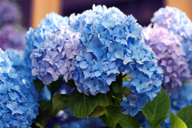 "Hydrangea ""Titian Sapphire'-Nantucket, Massachusetts"