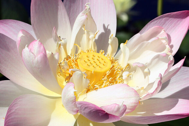 Lotus Lace No.1- The New York Botanical Garden