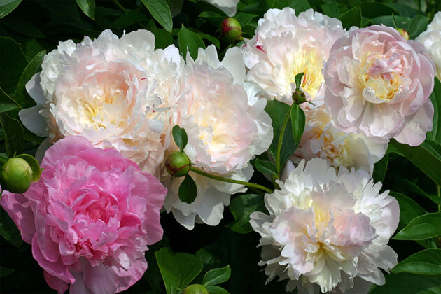 Web-Paeonia-Vivid-Rose-Angel-Cheeks-and-Marshmallow-Puff_The-New-York-Botanical-Garden[[