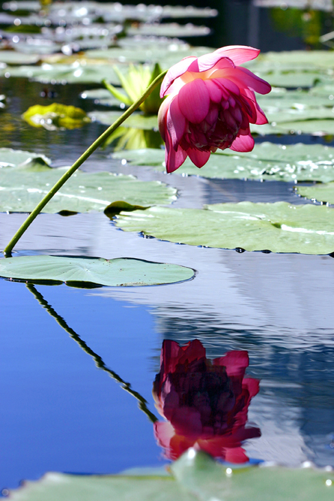 Web-Red Lotus Reflecting-IMG_1938*plus