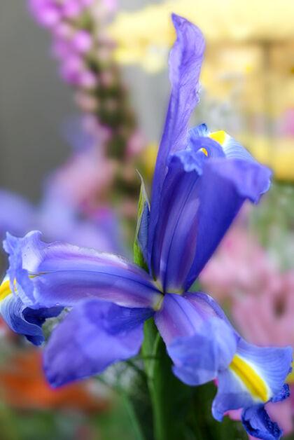 'Le Sacre du Printemps' Iris