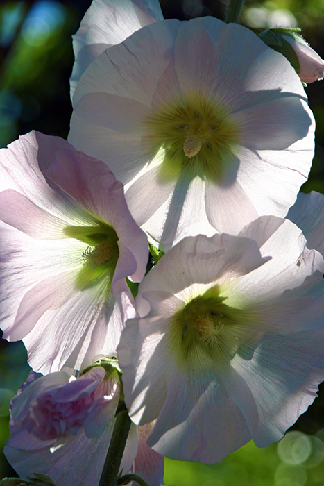 Hollyhock,'Thirteenth Wedding Anniversary' Nantucket-Massachusetts