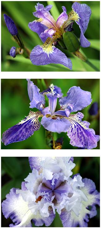 'Iris' Triptych
