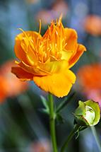 Globe Flower