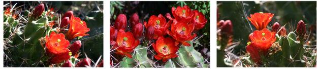 Triptych-Horiz.-Claret Cup Echinocereus'White Sands'_Santa Fe, New Mexico