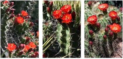 Triptych-Vert.-Claret Cup Echinocereus 'White Sands'_Santa Fe, New Mexico