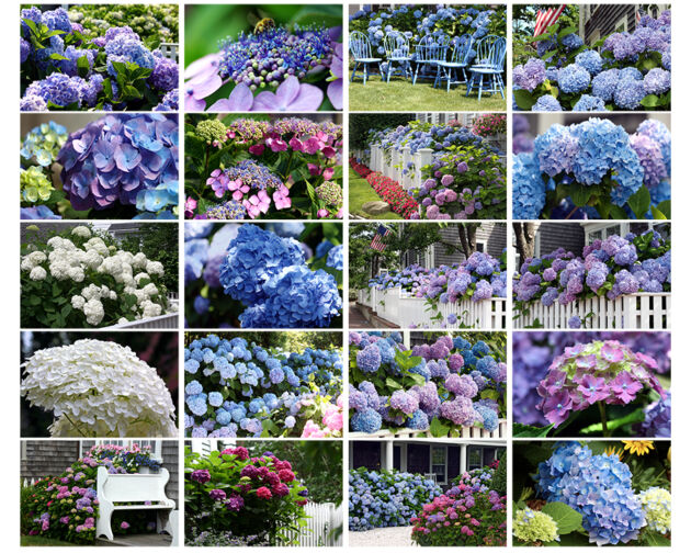 Hydrangea Photo Collage Nantucket, Massachusetts