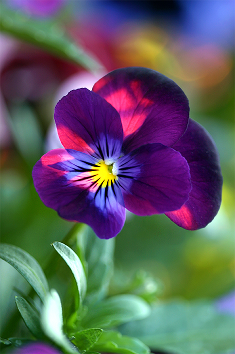 Rainbow Pansy-Santa Fe, New Mexico