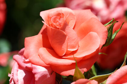 Marmalade Skies Rose- Santa Fe, New Mexico