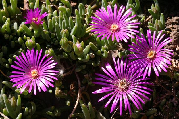 IMG_0651-Cactus Starletts - Santa Fe, New Mexico