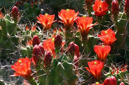 Claret Cup Echinocereus 'White Sands' III-Santa Fe, New Mexico