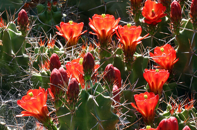 Claret Cup Echinocereus 'White Sands' III-Santa Fe, New Mexico