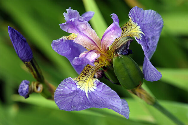 Swanky Iris - Hortus Botanicus – Amsterdam, Holland