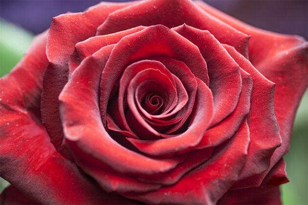 'Cardinal Rose' New York City