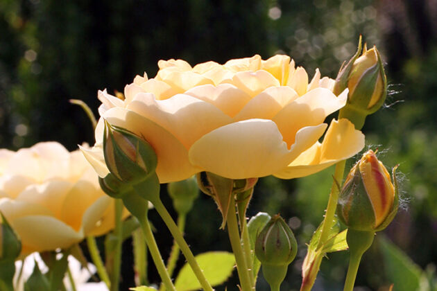 Heaven Scent Rose-The New York Botanical Garden