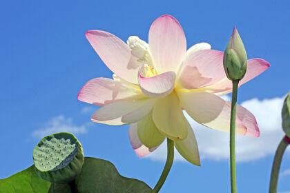 Lotus in Blue, The New York Botanical Garden
