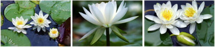 White WaterLily Triptych