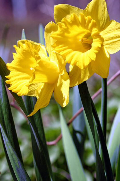 'Dances with the Daffodils' #1- Atlantic Highlands, New Jersey