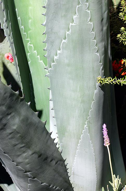 Designer Cactus - Santa Monica, California