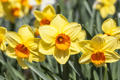 Radiant Daffodil Spring-Conservatory Garden, New York City