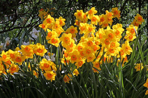 Fiery Daffodils-Conservatory Garden, New York City