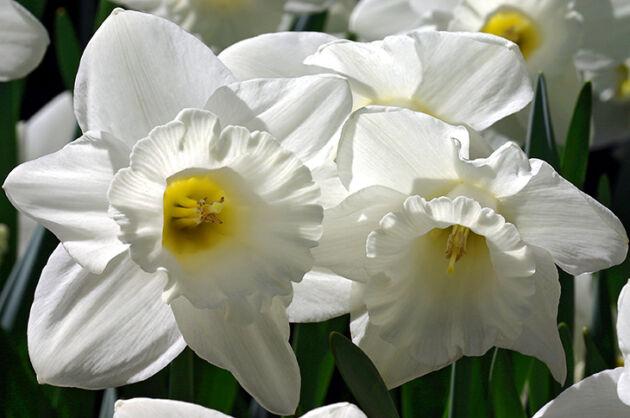 Dove White Daffodils-Conservatory Garden, New York City