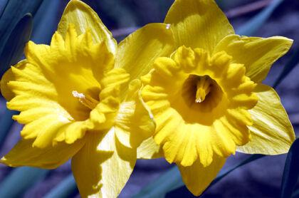 Wax Poetic Daffodils-Atlantic Highlands, New Jersey