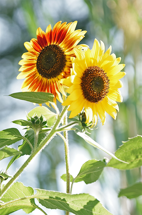 Sunflower Power, Springfield, New Jersey