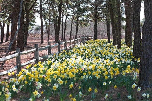 'Daffodil Way', Nantucket, Massachusetts