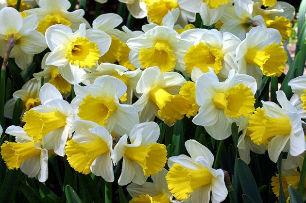 'Daffodil March'-Conservatory Garden, New York City