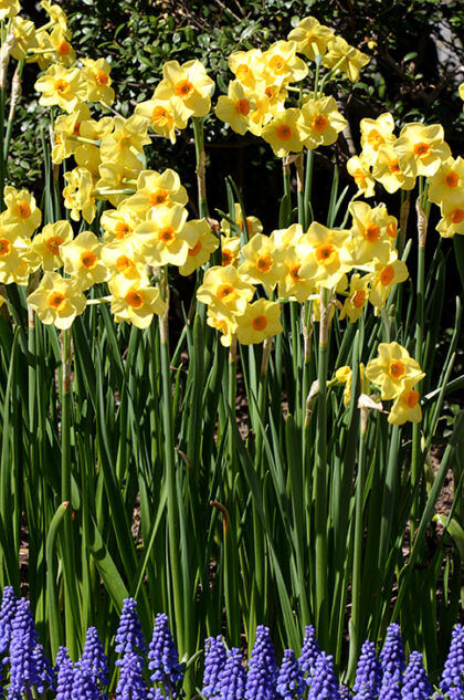 Narcissus 'vim & vigor' Conservatory Garden, New York City