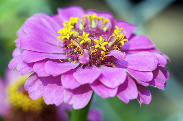 Tickled Pink Zinnia - Springfield, New Jersey