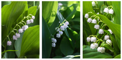 Lily of the Valley Triptych, New York City